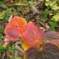 Photos: 紅葉「丸葉の木」IMG_7685