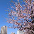 写真: 4月4日桜