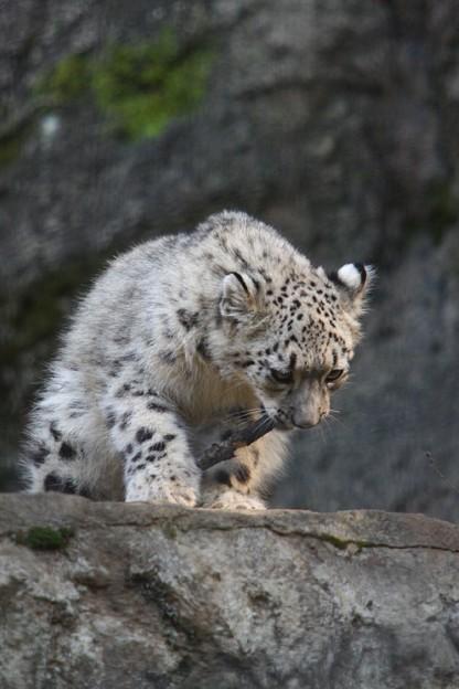 多摩動物公園111029-ユキヒョウの子供達 アサヒちゃん-12