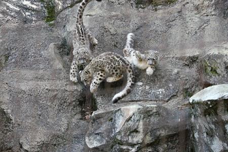 多摩動物公園111029-ユキヒョウの子供達 押すなよぉ1-03
