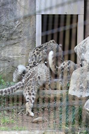 多摩動物公園111029-ユキヒョウの子供達 帰るでし-01