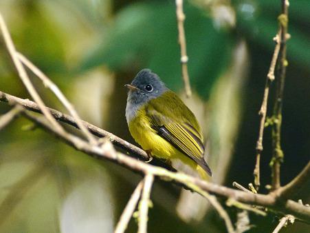 ハイムネヒタキ(Grey-headed Canary Flycatcher) P1050415_R2