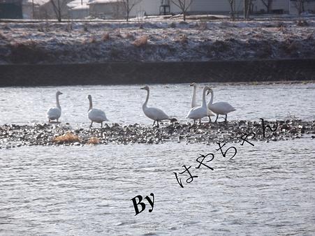 白鳥が就寝する中州