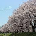 Photos: 2012.4.28 桜 2