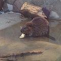 写真: 東山動植物園_02:アメリカビーバー