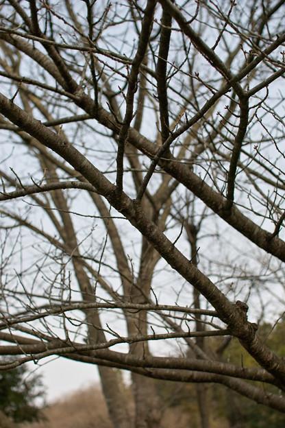 Photos: Cherry_tree04082012sd15-02