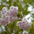一葉桜890