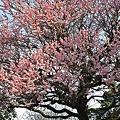 写真: 桜咲く♪