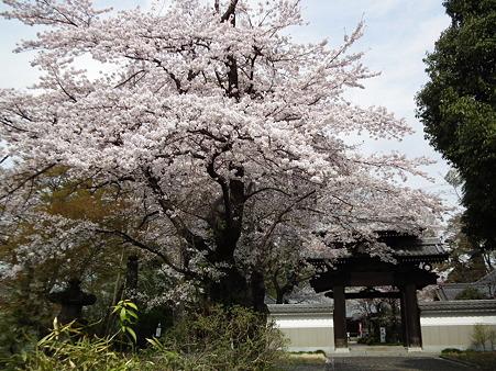 11天岑寺桜