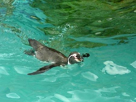 20110815 海響館 フンボエリア18