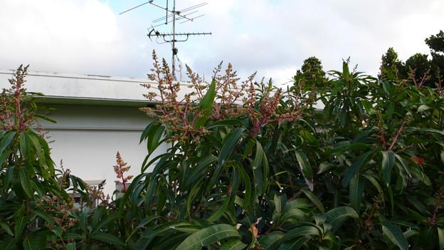 マンゴー 花P1100056