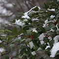 Photos: ヒイラギと初雪