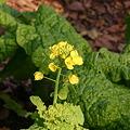 写真: 菜の花…