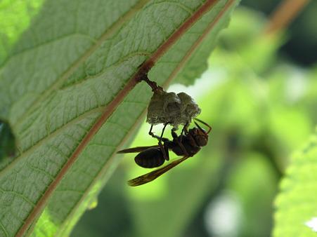 IMG_4620 葉の裏に蜂の巣