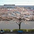 高架下の桜