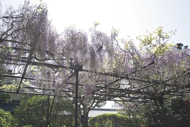 IMG_5052地蔵寺(子安地蔵寺)・九尺藤