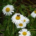 花とミツバチ08