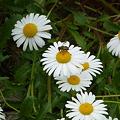 花とミツバチ09