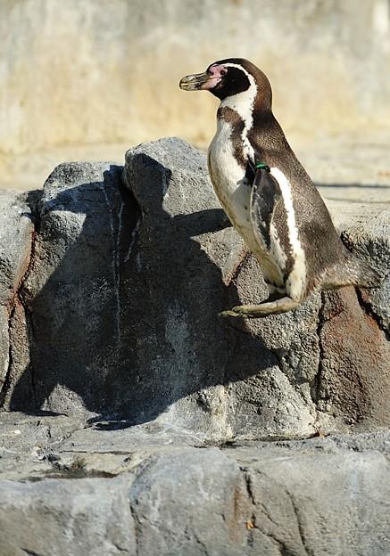 ジャンプ中のフンボルトペンギン