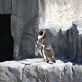 ペンギンのジャンプシーン(その4)