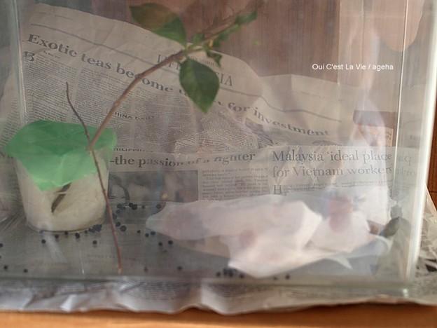 蛹化前のガガさま(オオスカシバ幼虫)の為に枝を入れてみる。