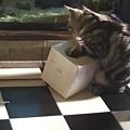 ドジョウ飼育(箱で遊ぶも気もそぞろ。)