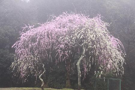 濃霧に咽ぶ枝垂れ紅白梅