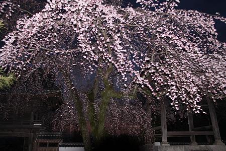 安長寺の枝垂れ桜2