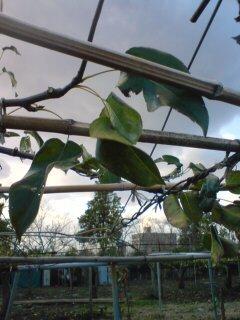梨と冬の空