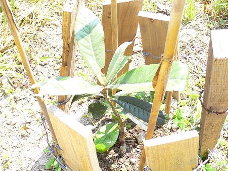 びわの苗木の植え付け後1