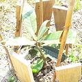 Photos: びわの苗木の植え付け後1