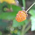 Photos: キイチゴ