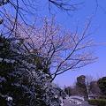 Photos: 東京桜…2