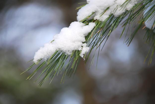 写真: The Snow on the Pine Tree