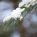 The Snow on the Pine Tree