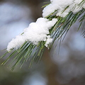 写真: The Snow on the Pine Tree