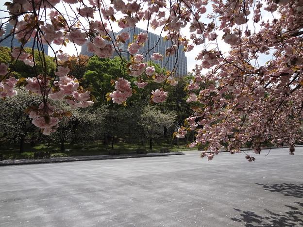 皇居外苑の八重桜07