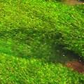 Photos: 踊る、藻