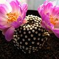 写真: Mammillaria luethyi