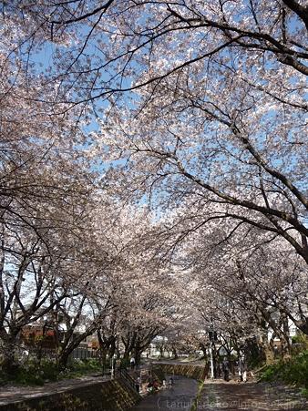 120412-千本桜 (88)