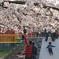 夕暮れ時の公園の桜