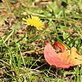 合浦公園・落ち葉とタンポポ01-11.10.19