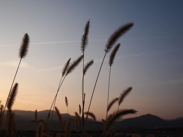 2011/11 薄が風に踊った夕暮れ