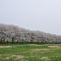 写真: 桜並木