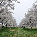 写真: 桜の回廊