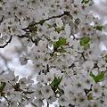 写真: 桜きれいだね