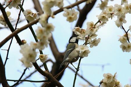 2012.03.25 和泉川 ウメにシジュウカラ