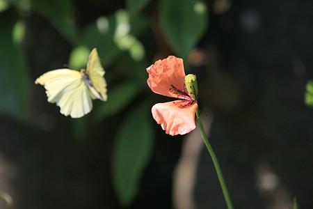 2012.05.05 和泉川 ナガミヒナゲシ