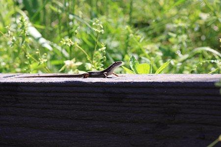 2012.05.05 和泉川 ニホンカナヘビ