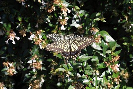 2011.07.14 追分市民の森 タイワンツクバネウツギにアゲハチョウ カップル